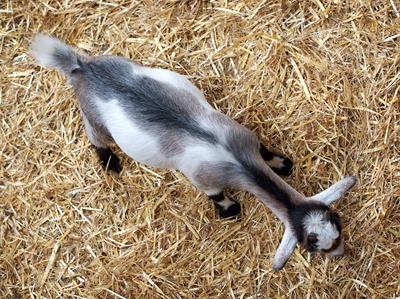goat-1639570_960_720